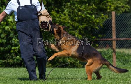 schutzhund - 10089224