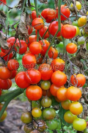 tomato blight tomato late blight