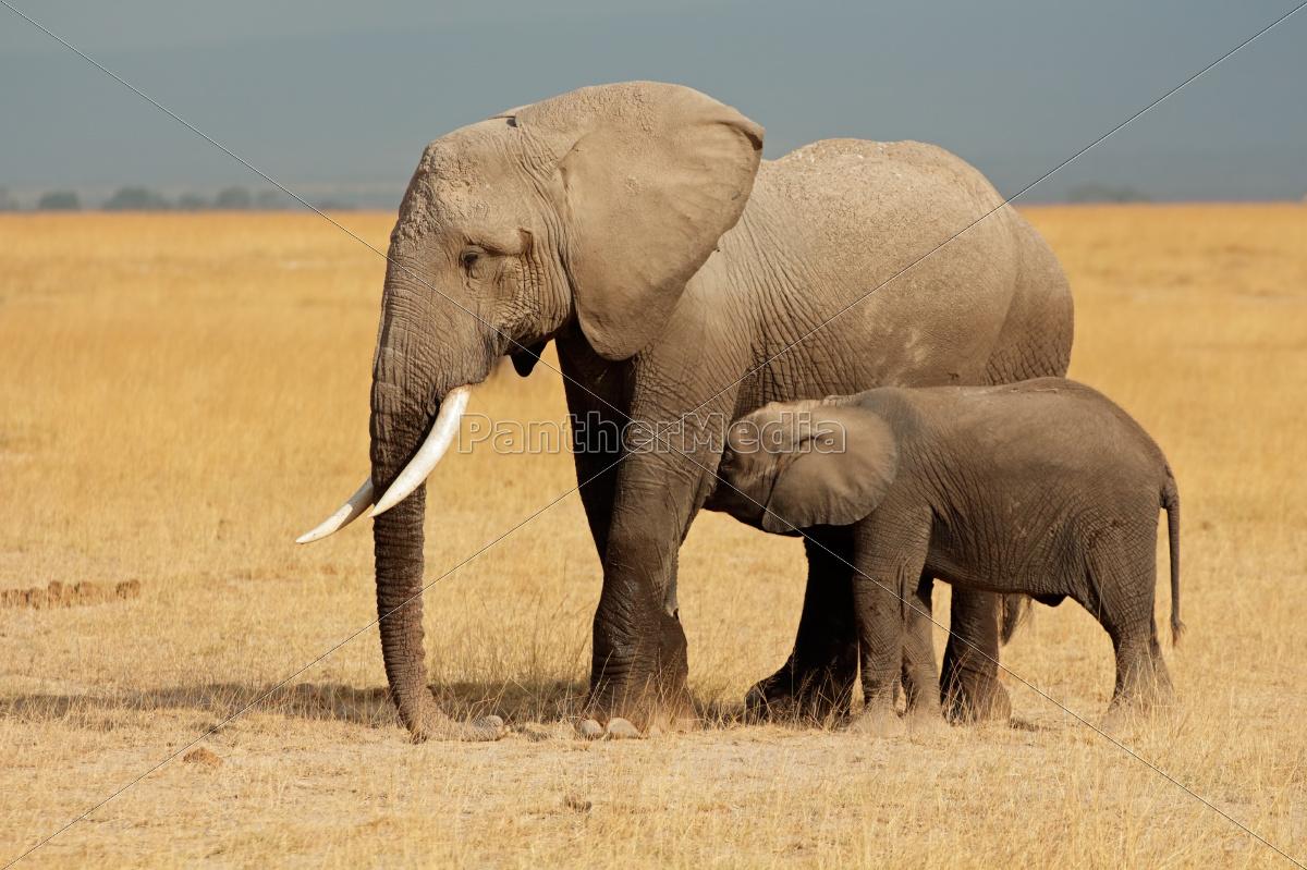africa, elephant, kenya, wildlife, african, calf - 10094120