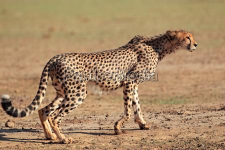 mammal, hunter, predator, wise, attentive, alert - 10094122