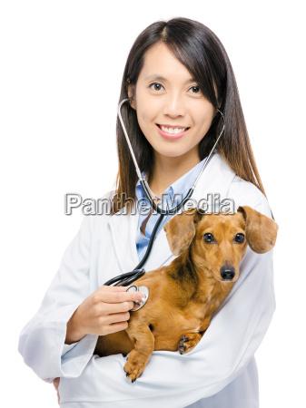 veterinarian, and, dachshund, dog - 10094128