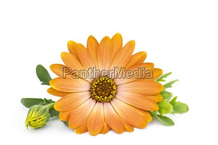 calendula, flower, isolated, on, white - 10096724