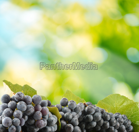 bunches of fresh red grapes in