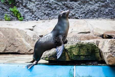 sea lion seal