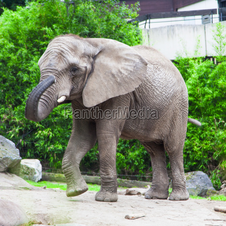 african, bush, elephant, in, zoo - 10109273