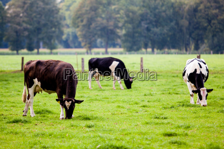 cows, on, meadow - 10109343