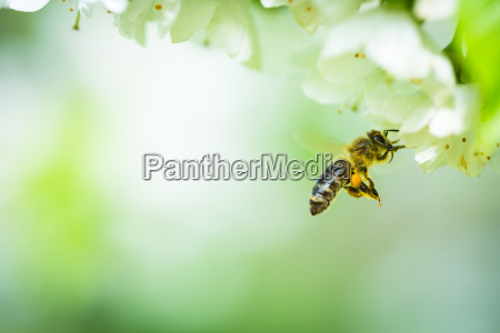 honey bee enjoying blossoming cherry tree