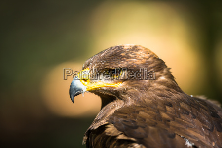 animal, bird, wild, portrait, eagle, majestic - 10110775