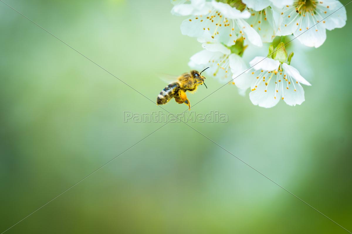 honey, bee, enjoying, blossoming, cherry, tree - 10110621