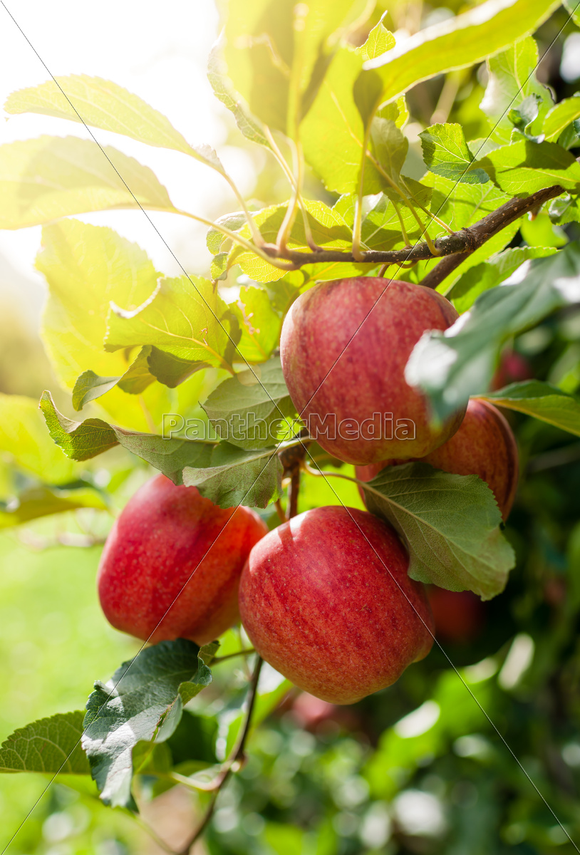 red, apples, on, a, branch - 10113493