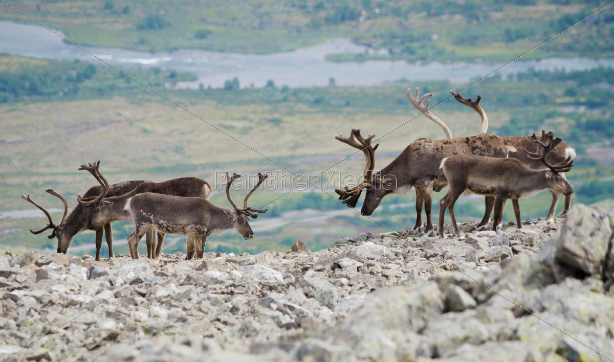 reindeer, mountain, view - 10130049
