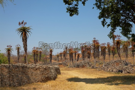 aloe excelsa at great zimbabwe