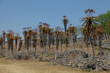 aloe excelsa in great zimbabwe