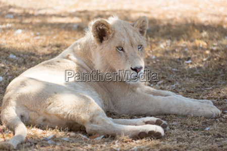 young white lion