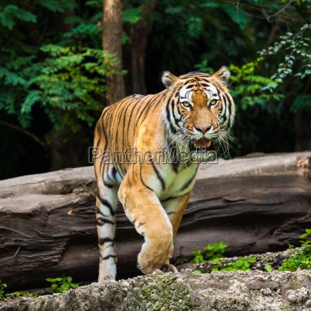 tiger - 10145643