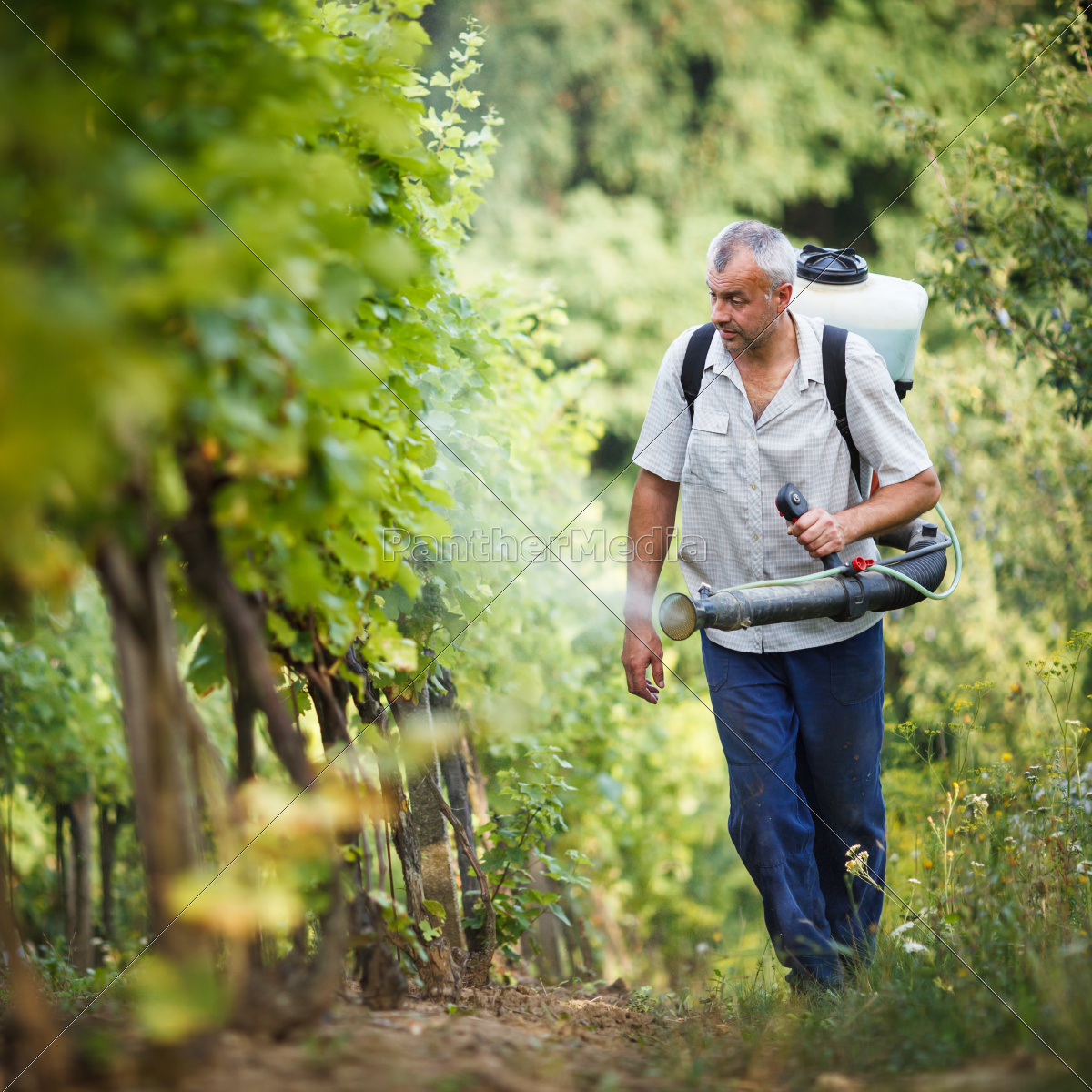 vintner, walking, in, his, vineyard, spraying - 10147309