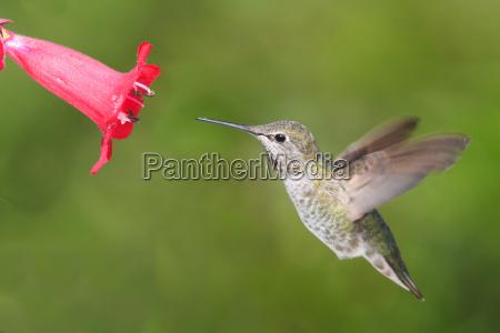 annas, hummingbird, (calypte, anna) - 10160415