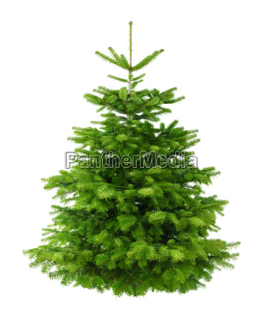 perfect, dense, fir, isolated, without, shadows - 10160805