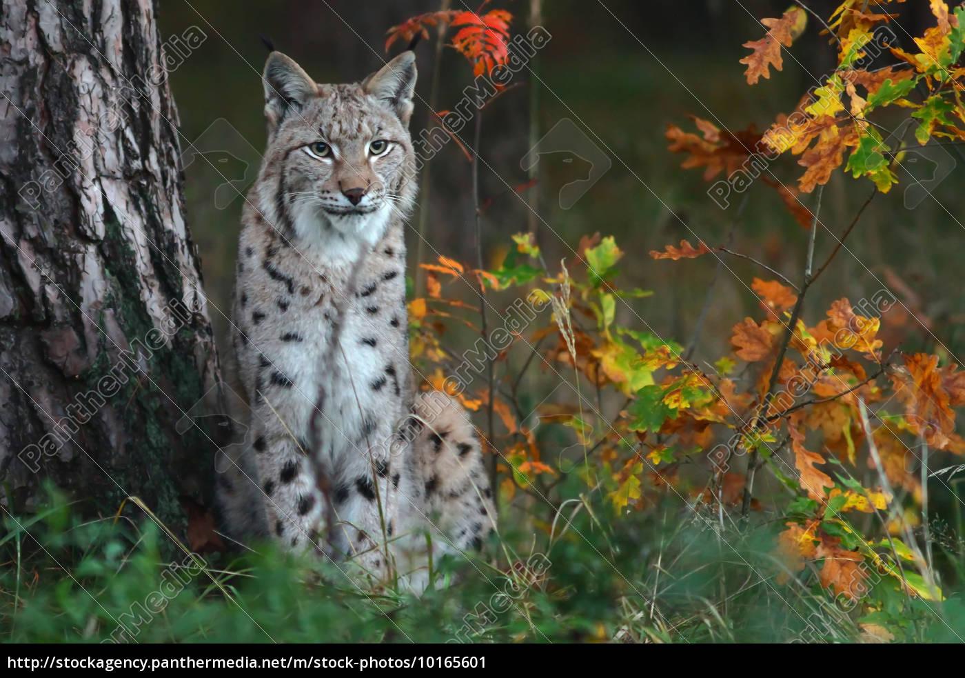 the, lynx, (lynx) - 10165601
