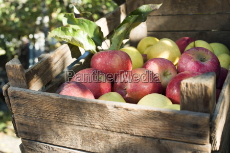 apples in an old wooden crate