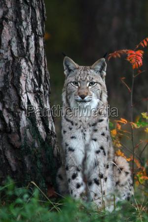 the lynx lynx