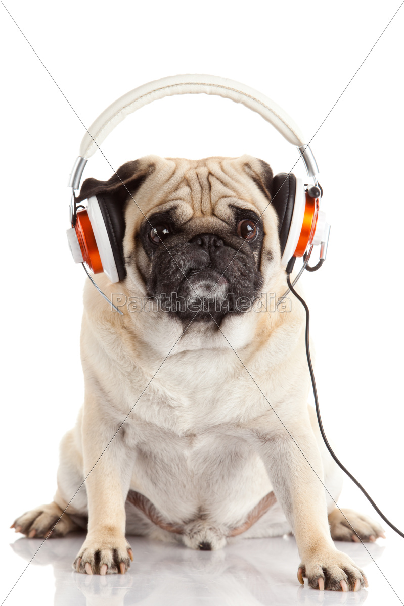 dog, listening, to, music., , pug - 10172869