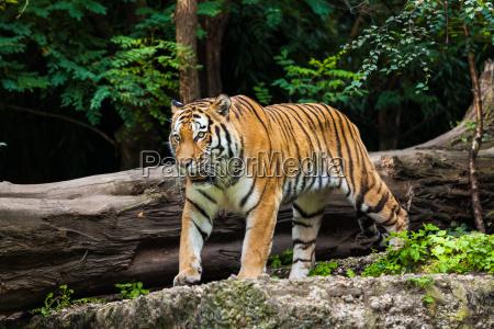 tiger - 10172809