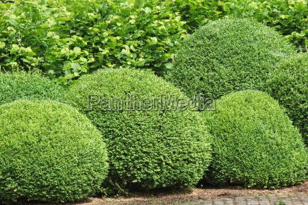 boxwood, balls, box, tree - 10173271