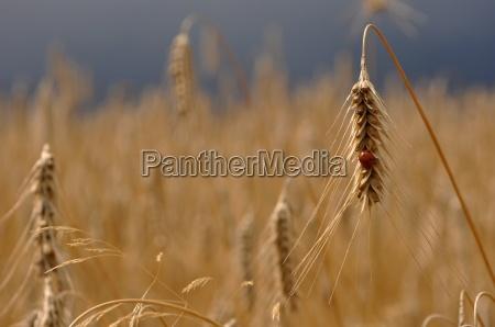 ladybug in a cornfield