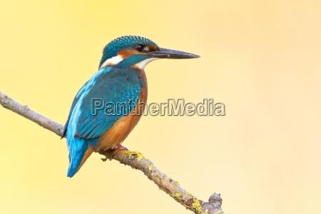 kingfisher - 10195027