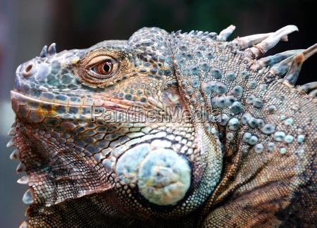 an iguana in a hamburg zoofachgeschaeft