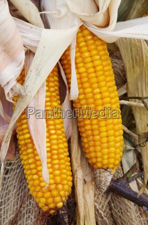corncob corn 03