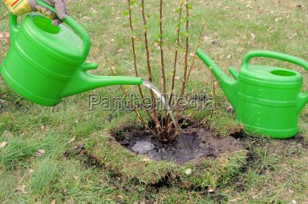 bush casting watering a shrub