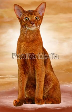 abyssinian cat sorrel color