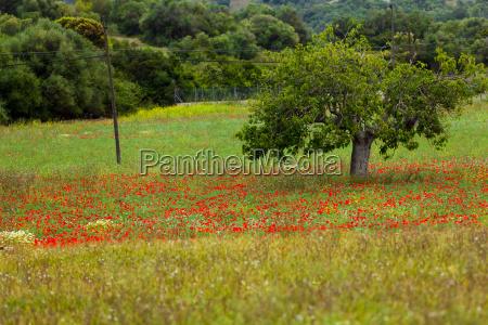 flowering red poppy flowers in field
