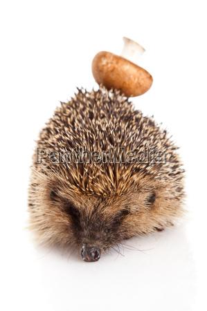 hedgehog on a white background hedgehog