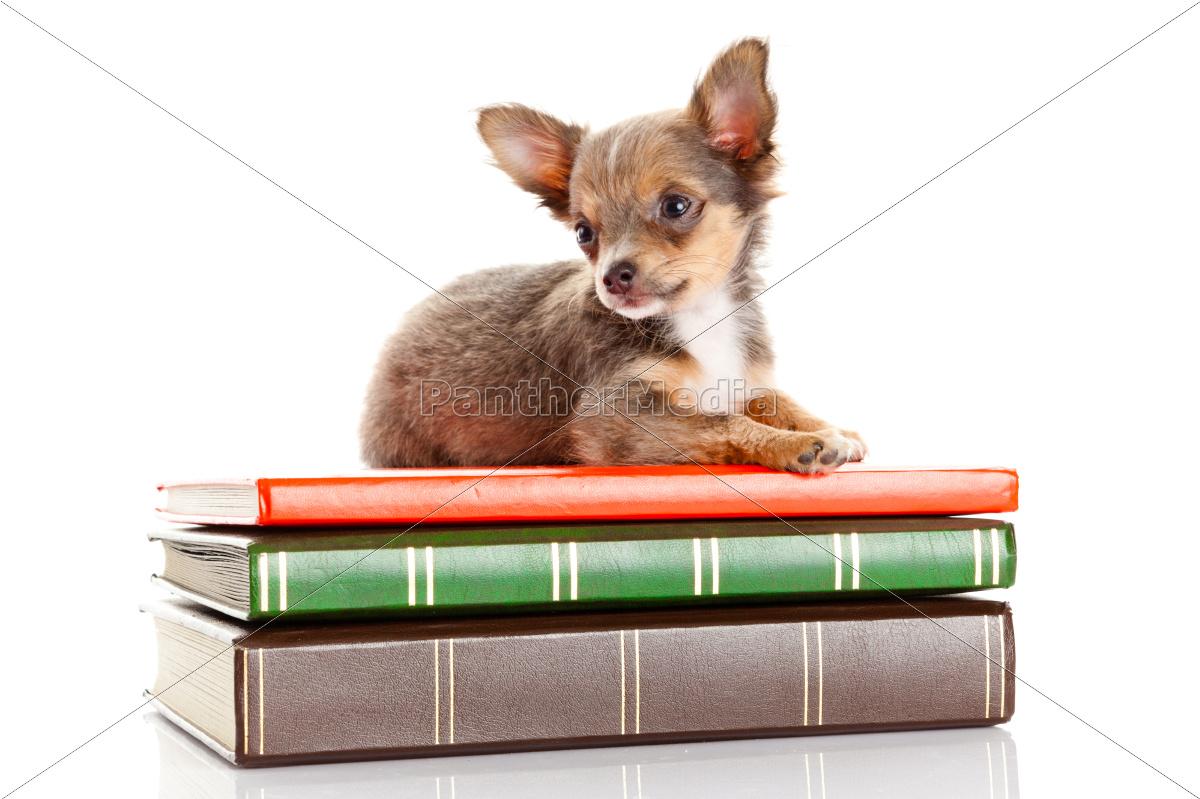 dog, on, books., , , chihuahua - 10220701