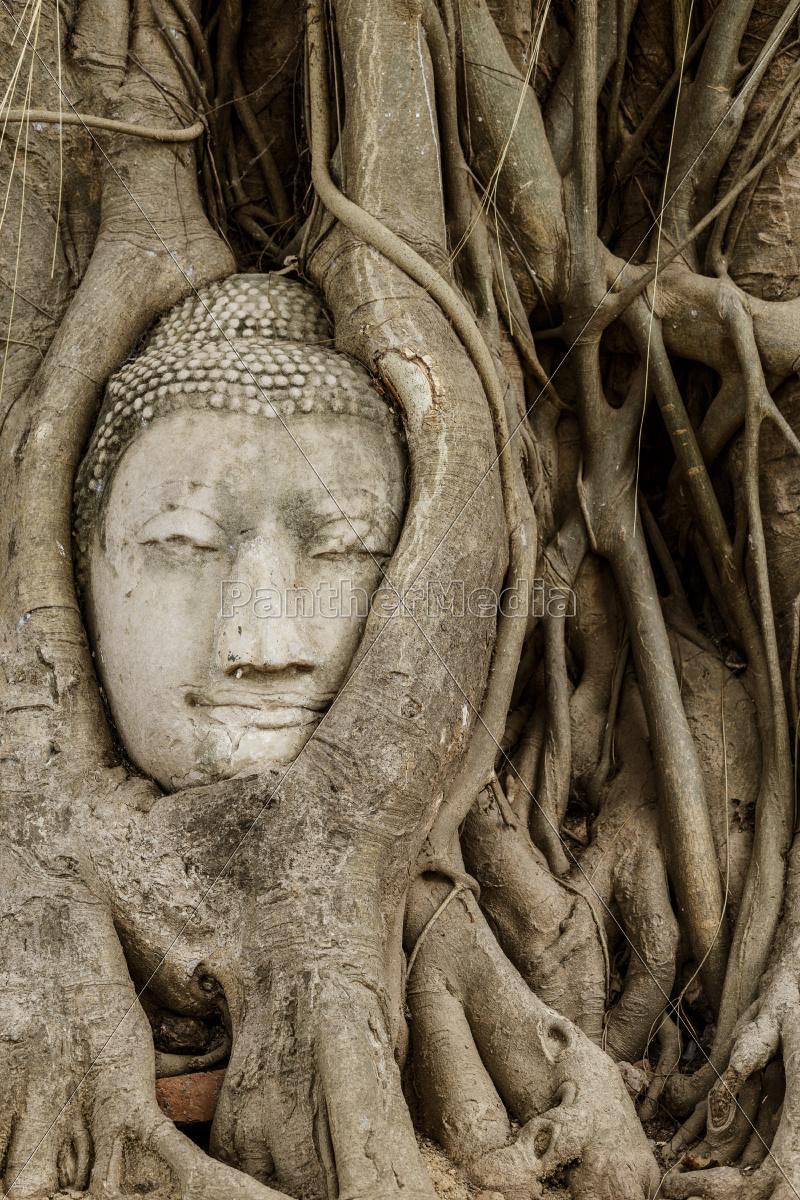 buddha, head, in, banyan, tree, at - 10262771