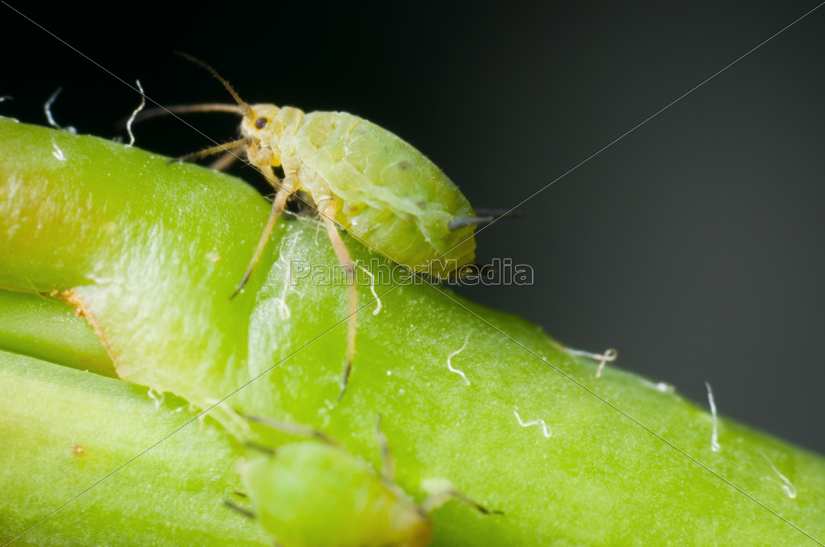 macro, of, single, greenfly - 10262241