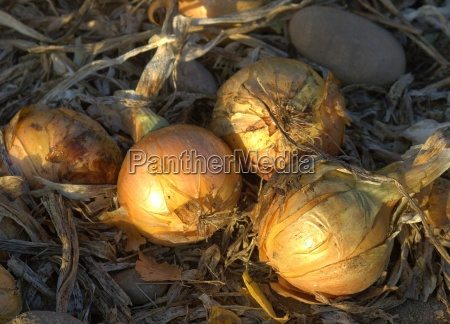 onions fresh from the field