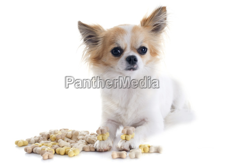 chihuahua and dog food