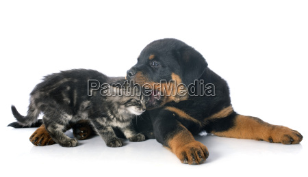 young rottweiler and kitten