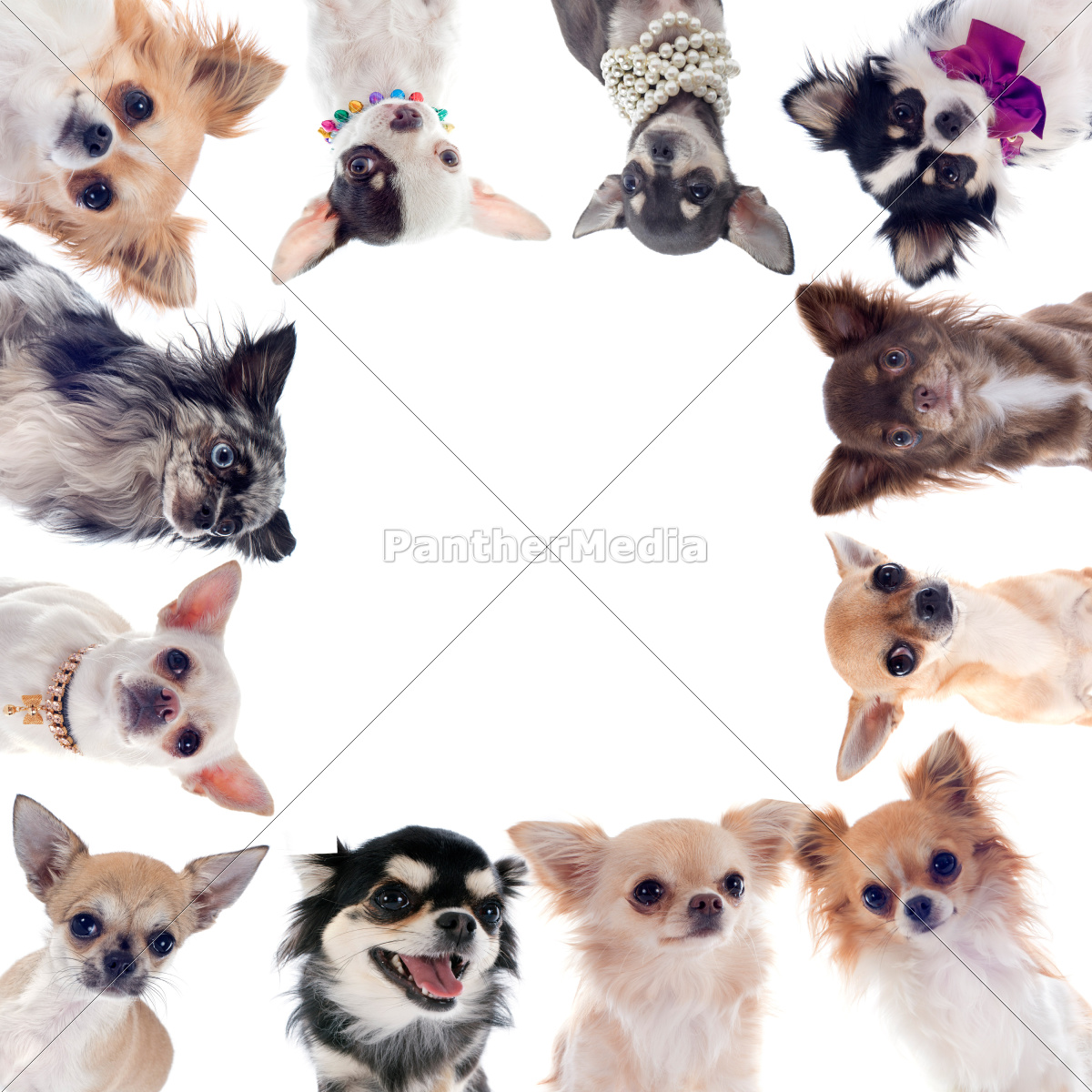 group, of, chihuahuas - 10298583