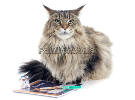 maine, coon, and, syringe - 10298673