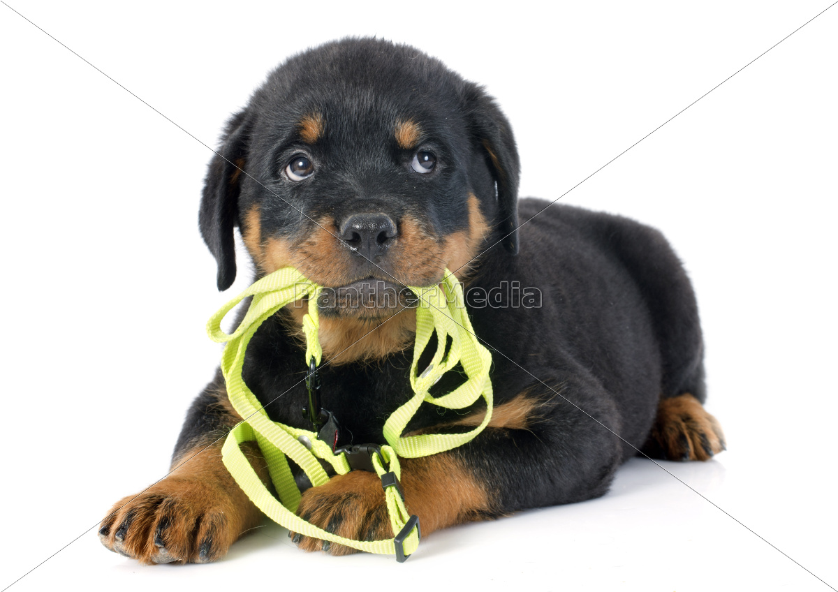 puppy, rottweiler, and, leash - 10298739