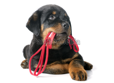 rottweiler, and, leash - 10298799