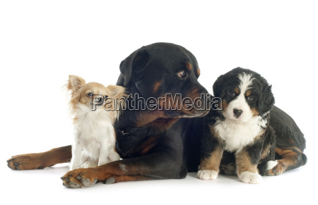 three, dogs - 10298603