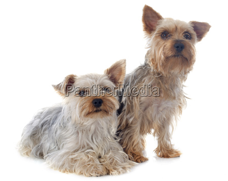 yorkshire, terriers - 10298847