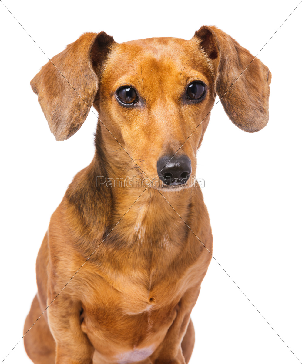 dachshund, dog, portrait - 10303835
