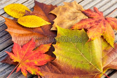 autumn maple leave with wooden background